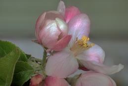 Apfelblüte 001