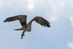 Fischadler 002